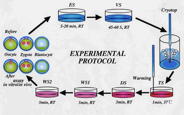 Vitrification法 (ガラス化法) による胚凍結